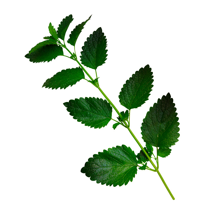 Lemon Balm Or Melissa Isolated 243832864